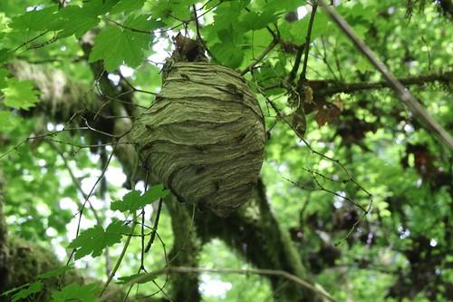 Paper Wasps.JPG