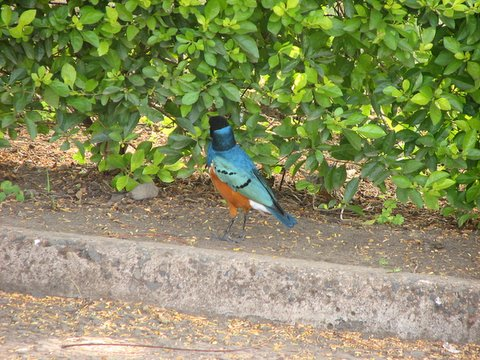 Iridiscent plumage of superb starling
