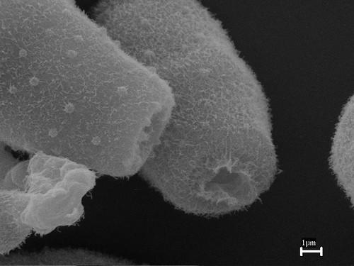 pithomyces-005