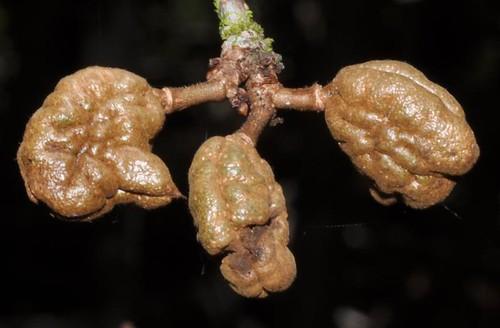 Cynometra iripa