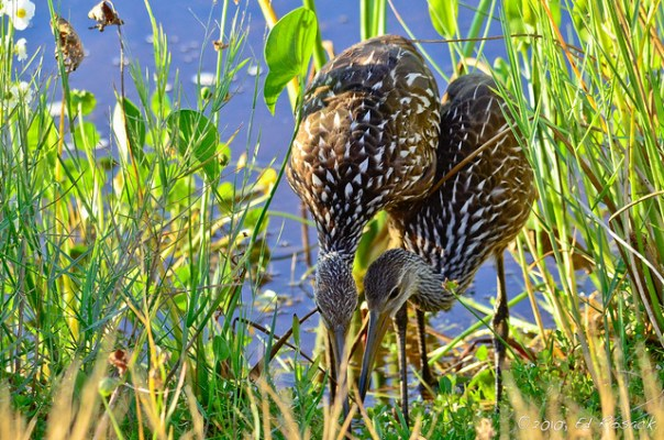 A pair of Limpkins share a snail snack