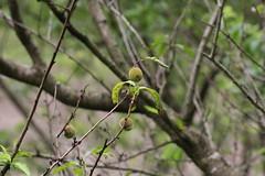 四季の森公園のハナモモ(Peach at Shikinomori Park, Japan)
