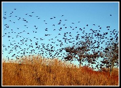 Blackbirds at Dusk, Asheville, North Carolina
