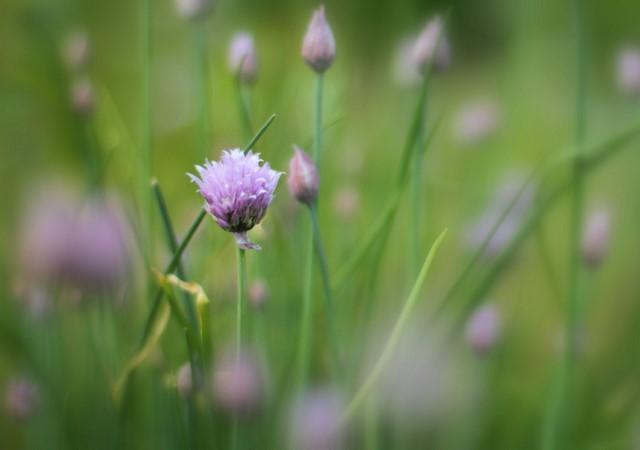Chive flower focus