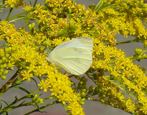 Cabbage butterfly on goldenrod