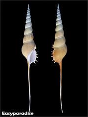 Tibia fusus Linnaeus, 1758 长笛螺 長鼻螺 長鼻鳳凰螺