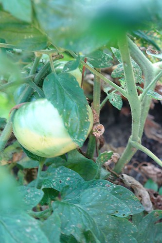 Unripe Tomato on the vine