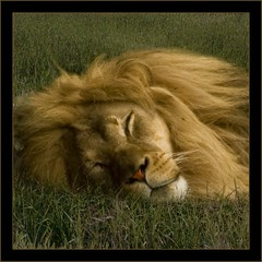 The Lions sleep tonight