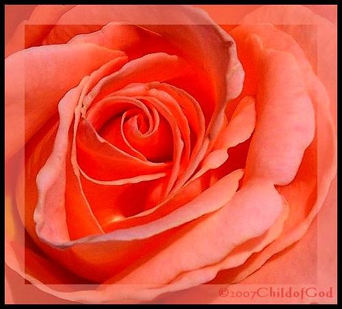 Kelly's Peach Rose Macro