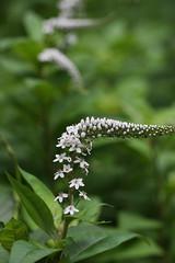 四季の森公園のオカトラノオ(Shikinomori Park, Japan)