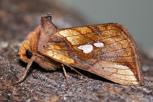 Lempke's Gold Spot Moth