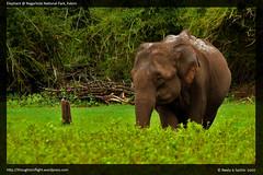 ElephantAtKabini