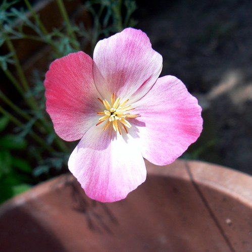 Pink California Poppy