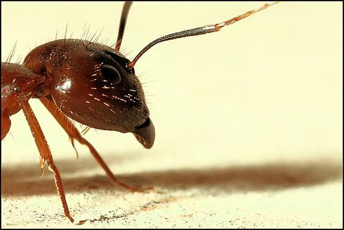Мрав из Индије (аутор binux)