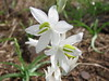 jungle white lily