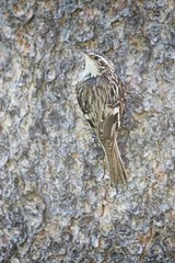 Brown Creeper by Adam Paul