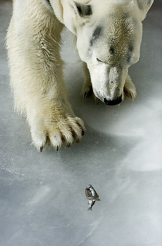 Polar bear with fish stuck in ice
