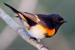 American Redstart - male (Setophaga ruticilla). Photo credit: Dan Pancamo).