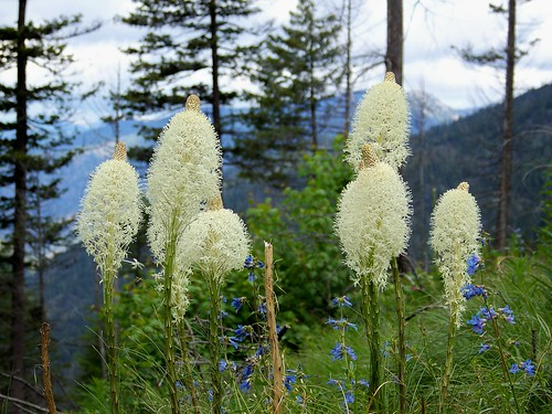 Beargrass