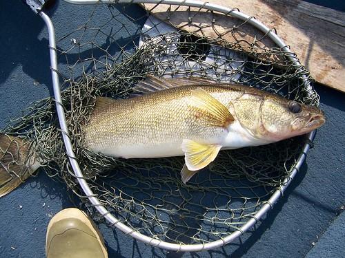 A 28 inch walleye.jpg