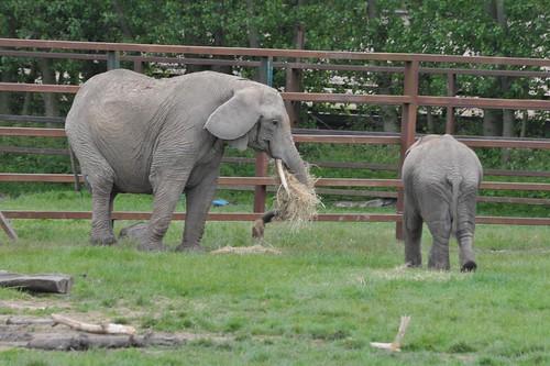 Afrikanischer Elefant Stuvite mit einem Jungtier im Howletts Wild Animal Park