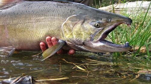 Fish party -- flyfishing salmon