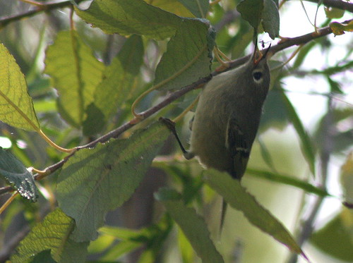 Ruby-crowned Kinglet with bug