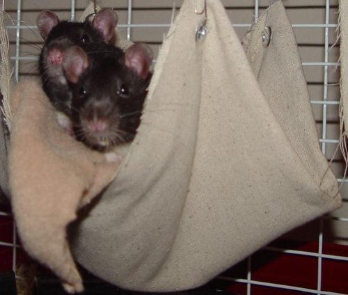 Four Amazing Facts You Never Knew About Rats.