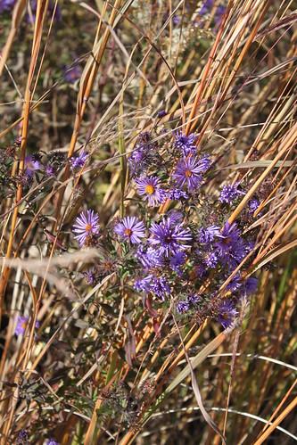 UW Arboretum - Purple Wildflowers