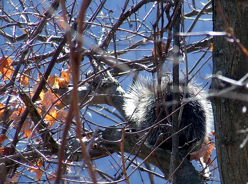 porcupine along the Bells Gap Rail Trail