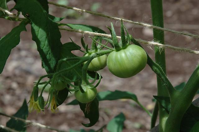 23Jun moreton tomatoes