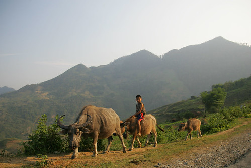 A boy rides one of his small native mountain buffaloes in northern Viet Nam