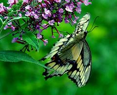 giant swallowtail 6
