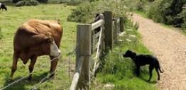 Cow, gate, dog