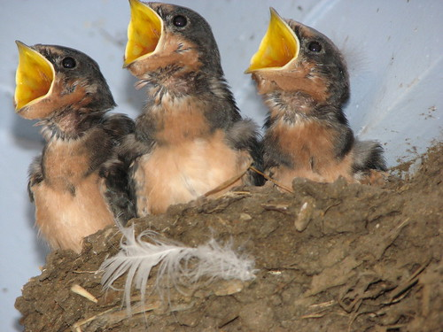 3 Baby Birds being fed