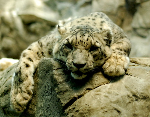 Snow Leopard Portait