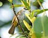 Photo:Yellow-vented Bulbul (Pycnonotus goiavier) By