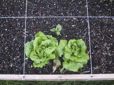 0606_lettuce3