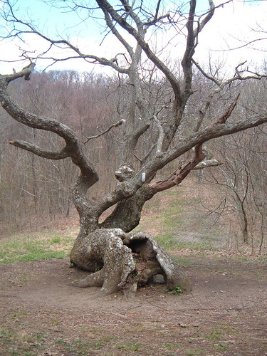 The twisted oak at Bly Gap