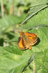 Large Skipper (Ochlodes sylvanus), male