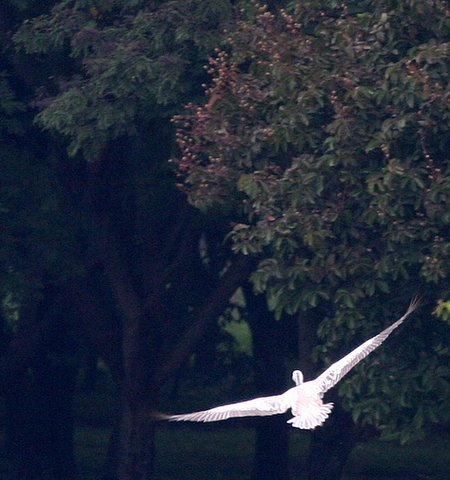 spot billed pelican in flight lalbagh 070907