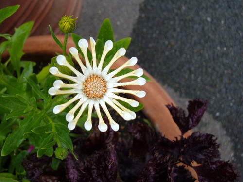 "Cute South African ""Daisy"""