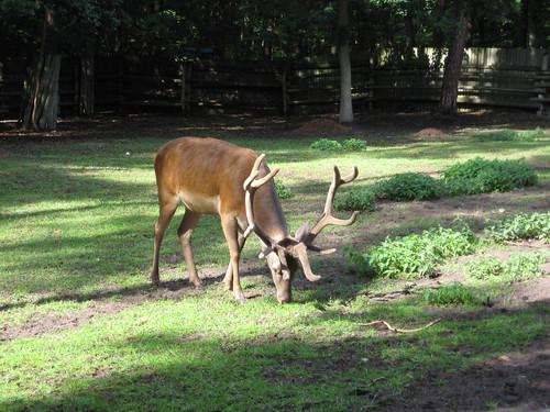 Byk, samiec jelenia