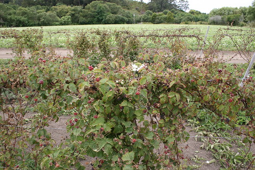 Boysenberry vines