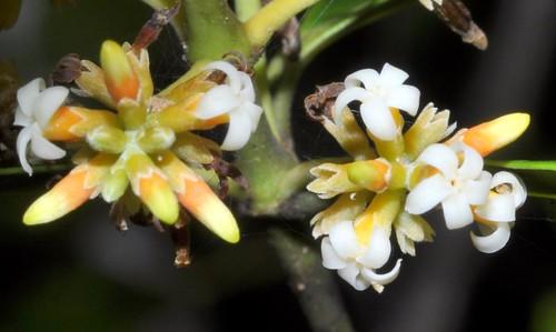 Alyxia spicata