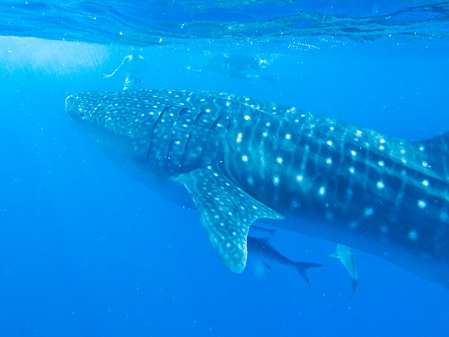 Snorkelling with the whale shark