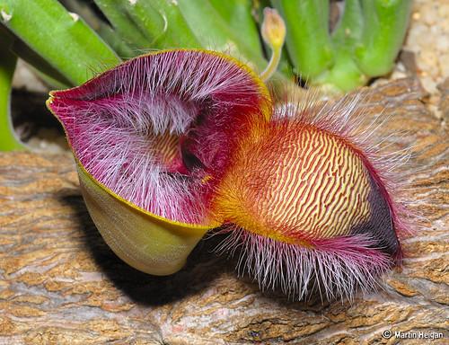 Stapelia hirsuta flower bud opening