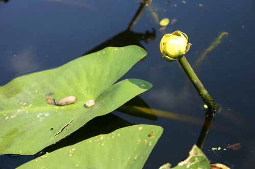 Paddling Perquiman County Blueway - Lilypad Flower