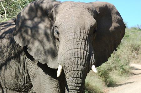 elefantone