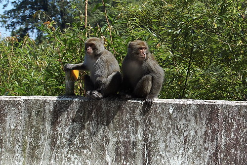 Formosan Rock Monkey